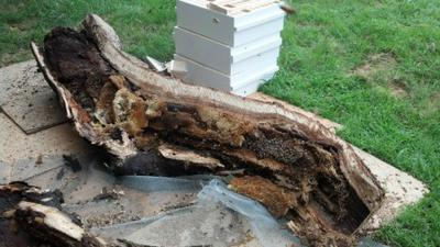 Bee Tree Removal