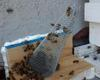 Trap Out Honeybee Removal