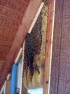 Cut Out Honeybee Removal